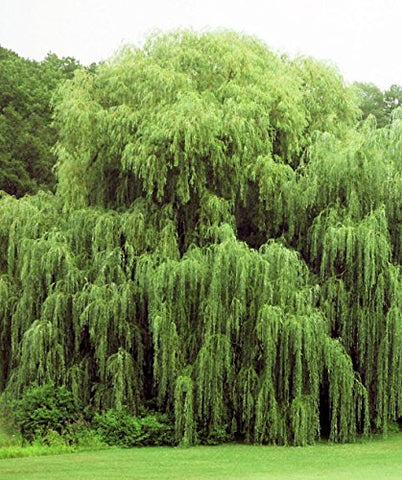 Beautiful Arching Canopy 2 Golden Weeping Willow Trees - Ready To Plant