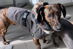 Dachshand dog in stylish brown waxed canvas dog jacket with flannel hood