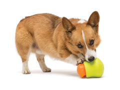 Corgi playing with Toppl toy