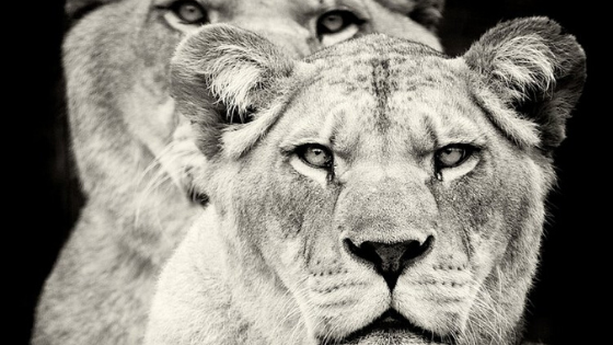 In the Press: Lionesses of Africa
