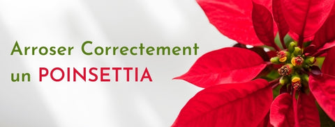 Comment Arroser correctement un Poinsettia