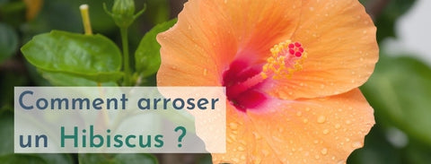 comment arroser un hibiscus ?