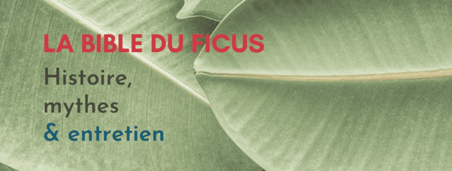 Comment Arroser son Ficus ?