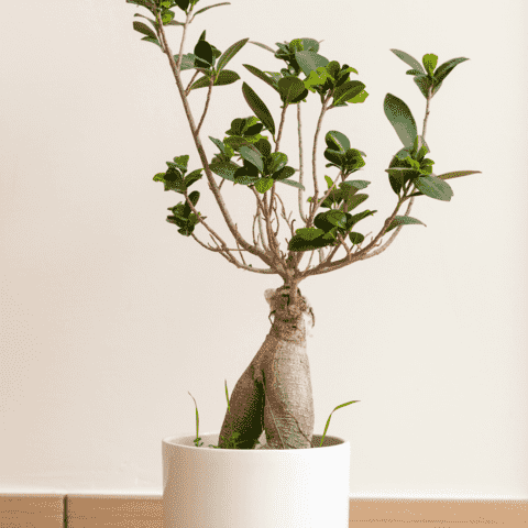 ficus Retusa bonsai en pot