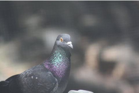 one of the many pigeons who have called vine home