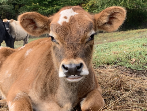 Splash, the youngest calf currently at vine