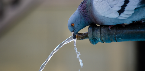 This is an image of a pigeon sipping water. The pigeon is adorable.