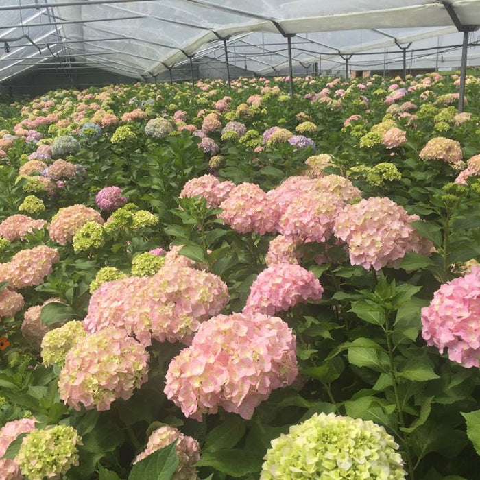 Excellent Flowers Direct hydrangeas