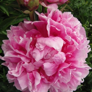 Peonies Alexander Fleming  From $ 5,55 / Stem | |FREE SHIPPING