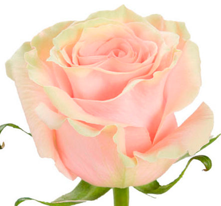 Pink Mondial Rose excellent flowers direct
