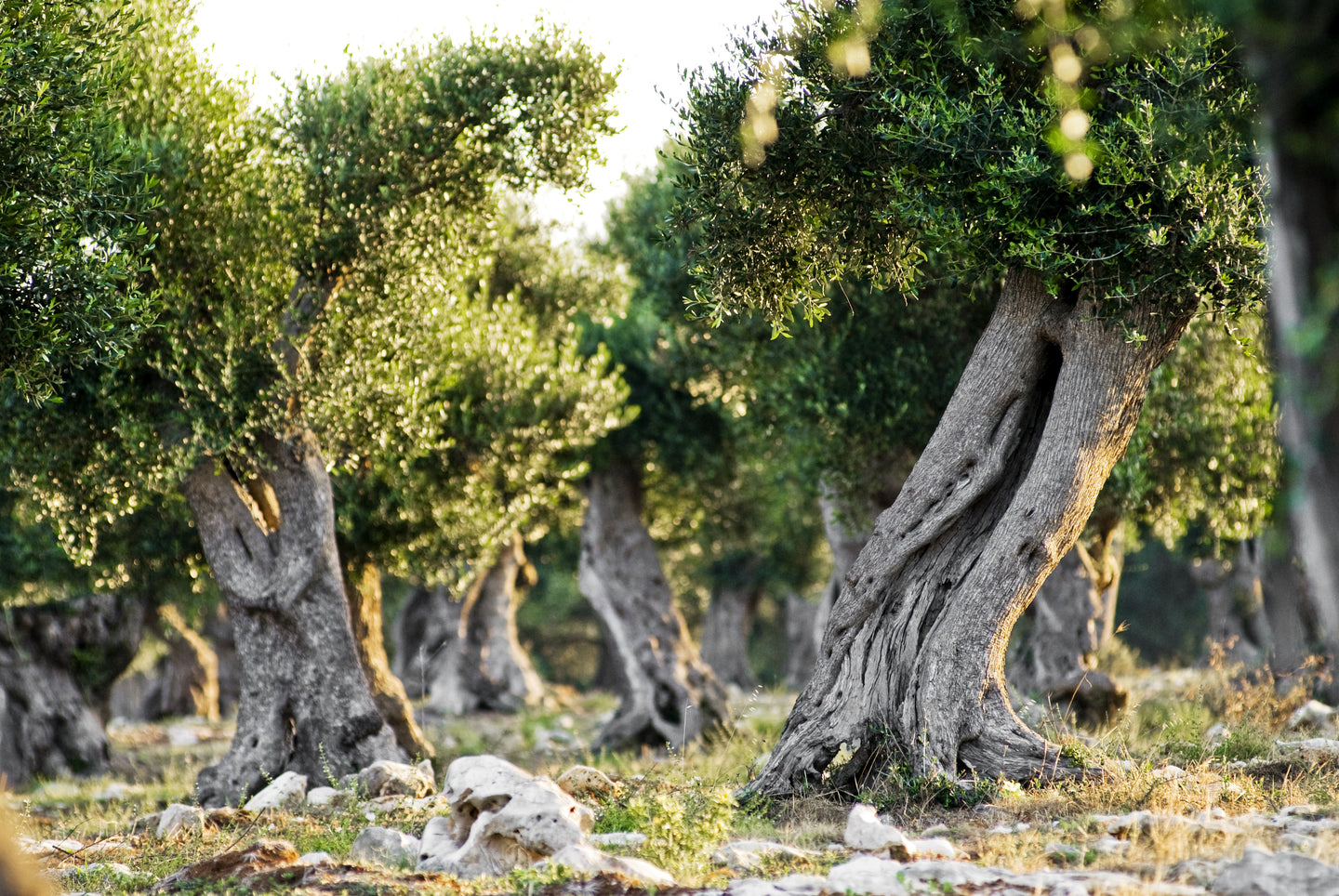 We select olive oil from the best farmers.