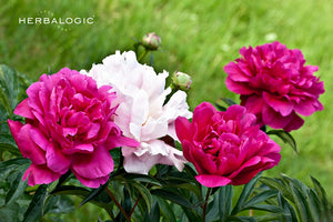 Peony flowers come in a variety of colors from white to deep red. But in Chinese herbs, peony root, red peony root or white peony root depends on processing, and has nothing to do with the flower color