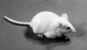 The first patented mammal was OncoMouse, a transgenic animal genetically modified to have a high susceptibility to develop cancer.
