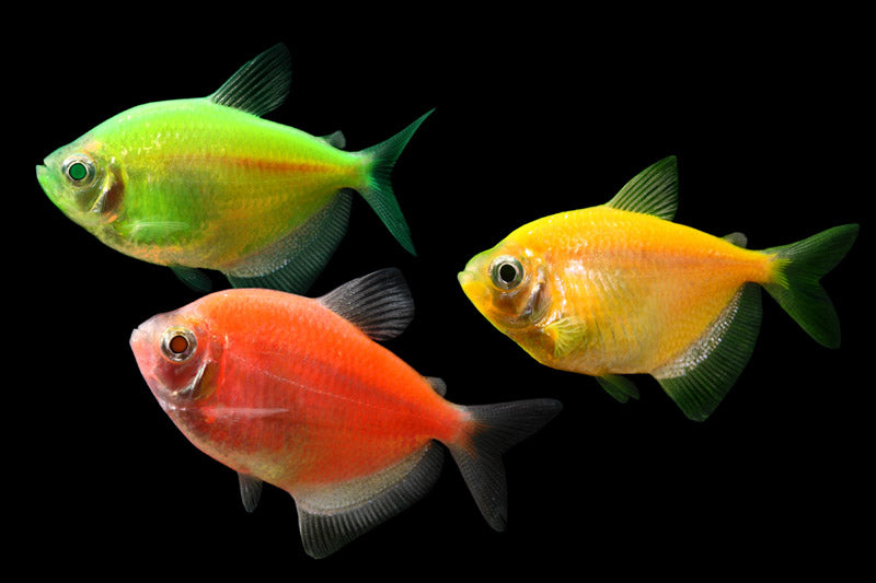 Glow-in-the-Dark GloFish is the first FDA-approved transgenic animal.