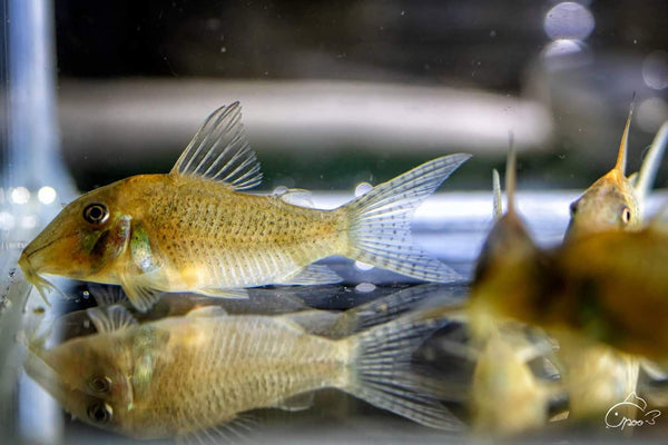 [Pre-sale] Bearded Cory (Scleromystax Barbatus)