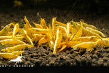 Yellow Golden Backline Neocaridina Neo