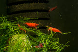 Bloody Mary Neocaridina Neo