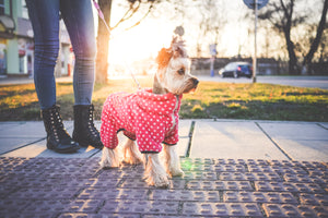 Dog wearing clothes on a walk. The dog is wearing red polka dot pajamas and a bow in it's hair.