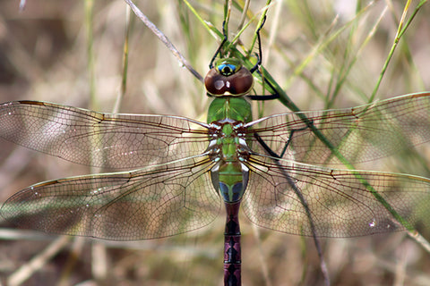 Dragonfly in Badlands National Park