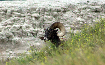 Mountain Goat at Badlands National Park