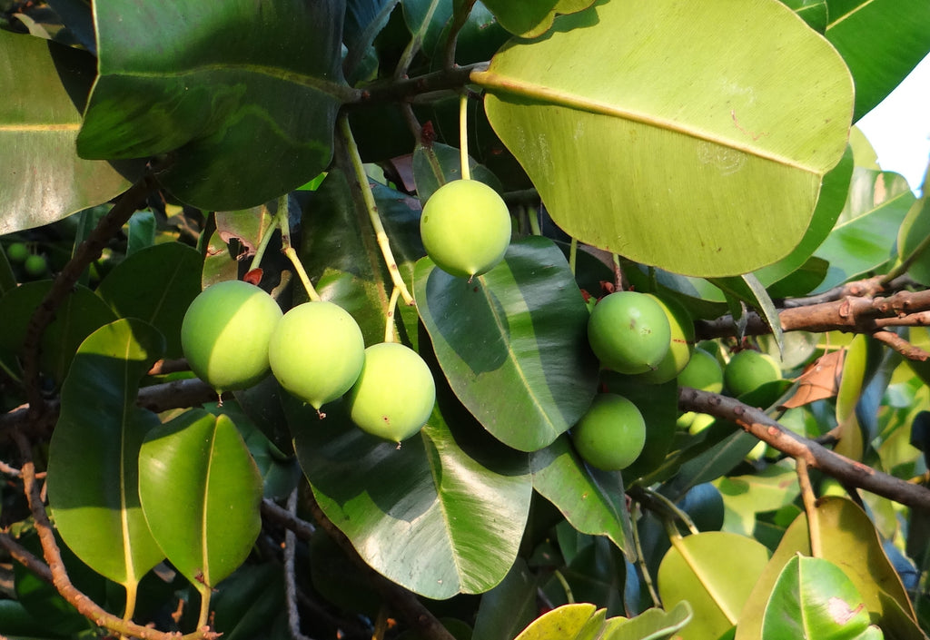 What is Tamanu Nut Oil?