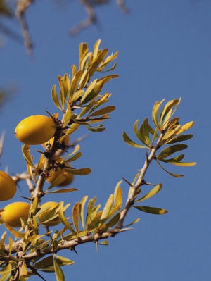 Argan kernels on tree in southern Morocco. 100% pure Argan oil, organic, ecocert and fair trade.