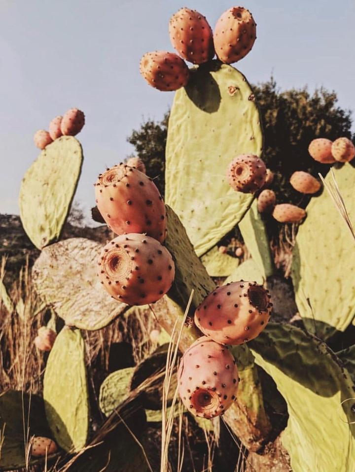Prickly pear fruit cactus