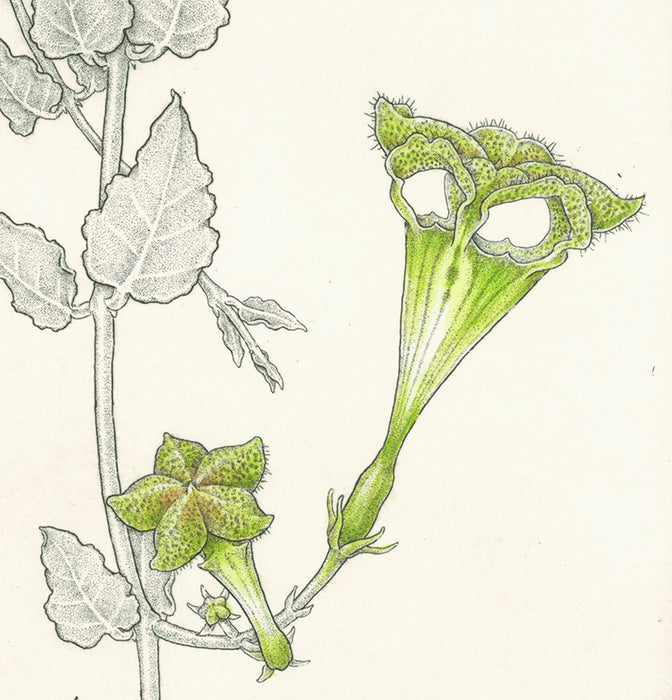 Hand colored etching - by ANGELL, Bobbi - titled: Parasol Flower - Ceropegia Sandersonii