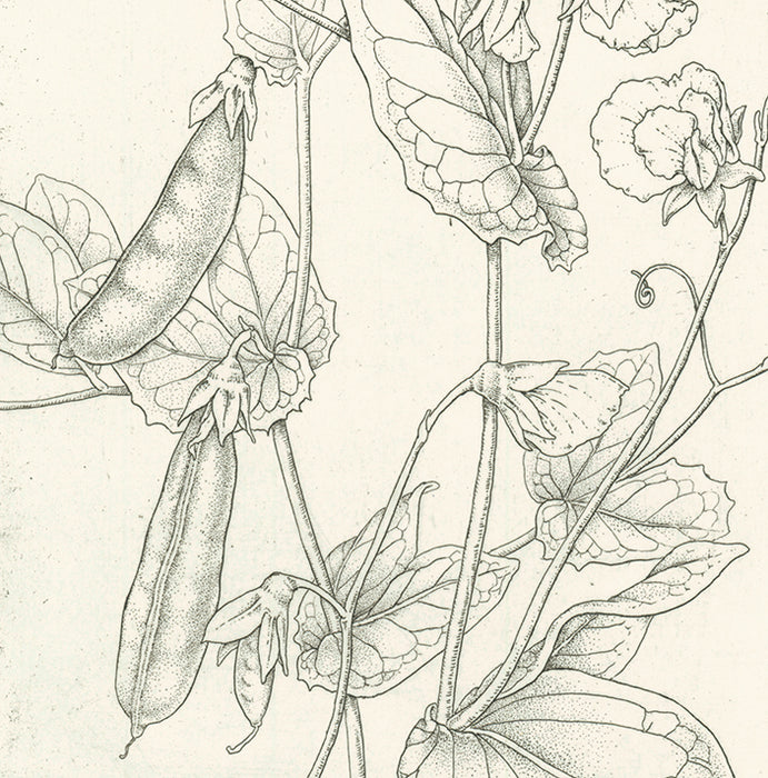 Etching - by ANGELL, Bobbi - titled: Peas