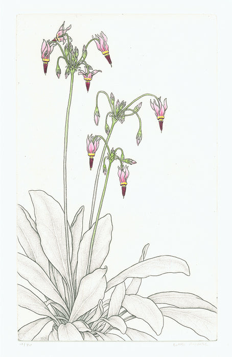 Bobbi Angell - Shooting Star - Dodecatheon meadia - etching with handcoloring