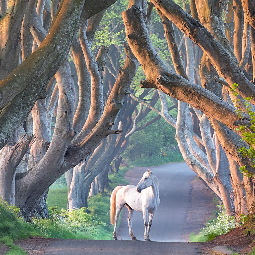 Dark Hedges and Horse