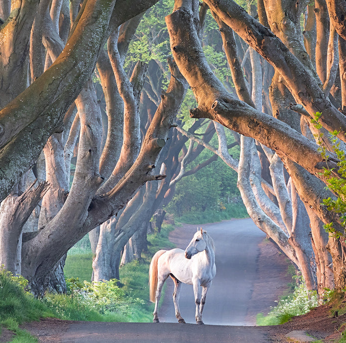 Color photograph - by ANDERSON, Daniel - titled: Dark Hedges and Horse
