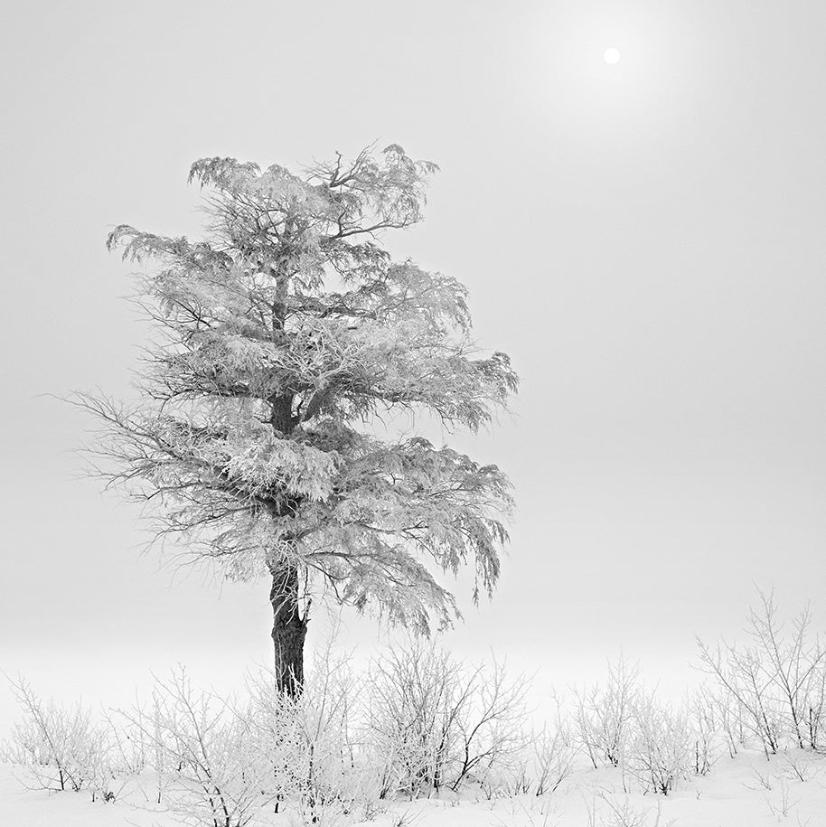 Ice Tree, Foggy Sun