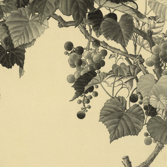 Etching and aquatint - by TAKEDA, Fumiko - titled: Grape Leaves