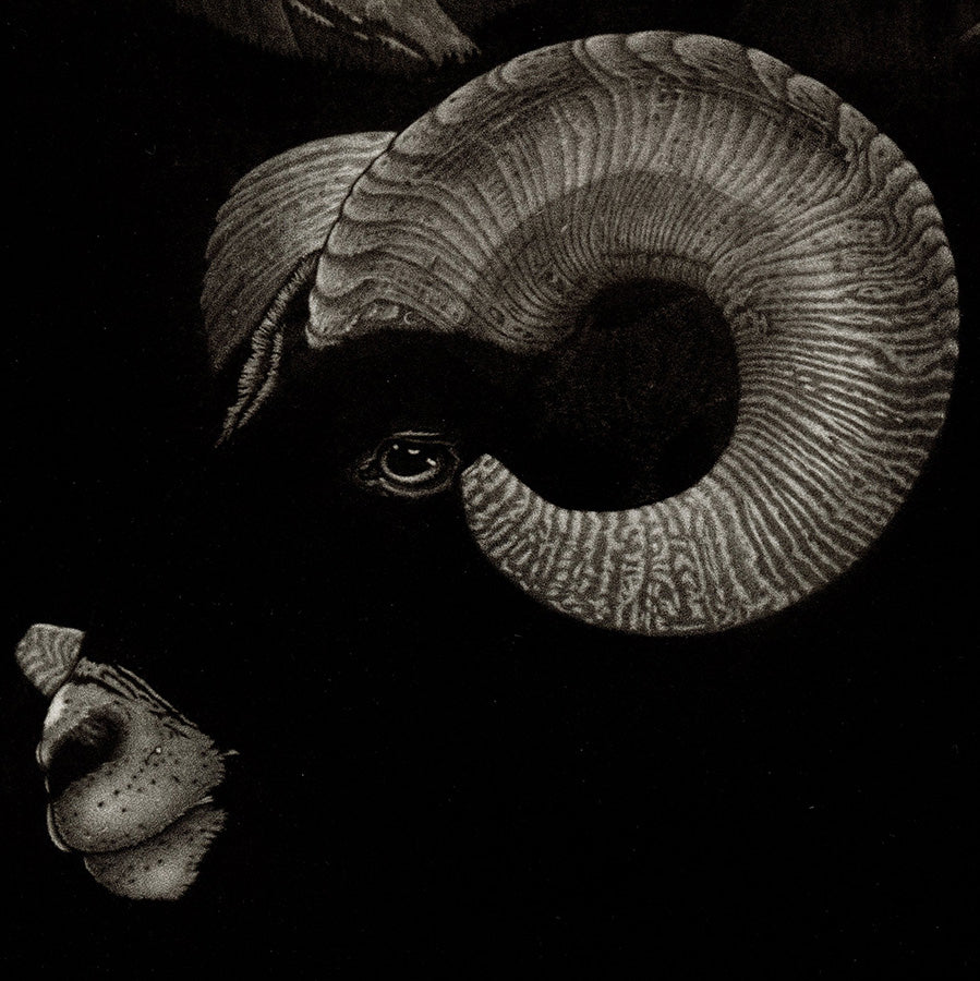 Michel Estebe - Muflon - Mouflon Sheep - curved horns - original mezzotint texture - black contrast - detail