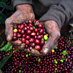 coffee beans fair trade coffee