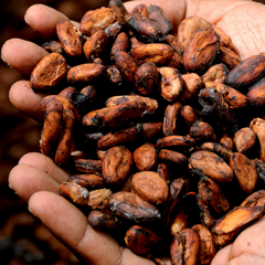 cacao beans fair trade chocolate