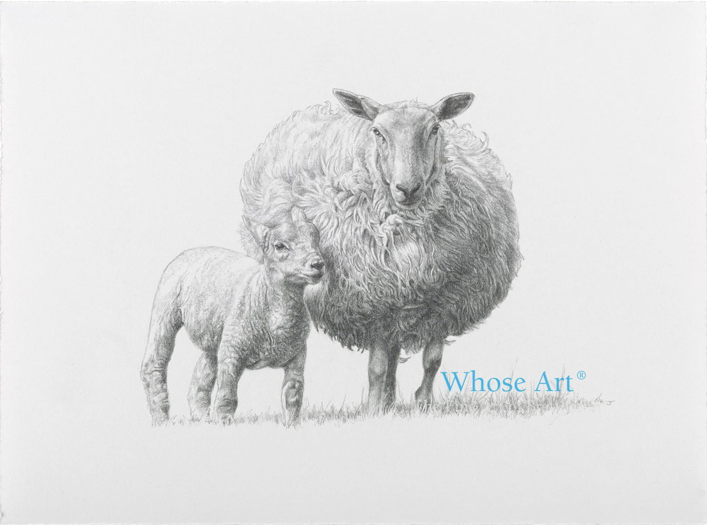 Black & white sheep card of a pencil drawing of a sheep & lamb together in Spring. The lamb is nestling into the sheep.