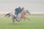 A Galloping Horses painting featuring a grey and a bay racehorse in training with two jockeys on Newmarket Heath.