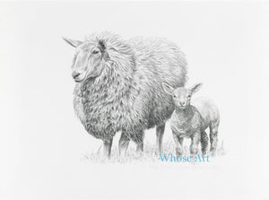 Sheep drawing greeting card drawn in pencil on paper. The drawing shows a sheep and lamb together. The lamb is standing