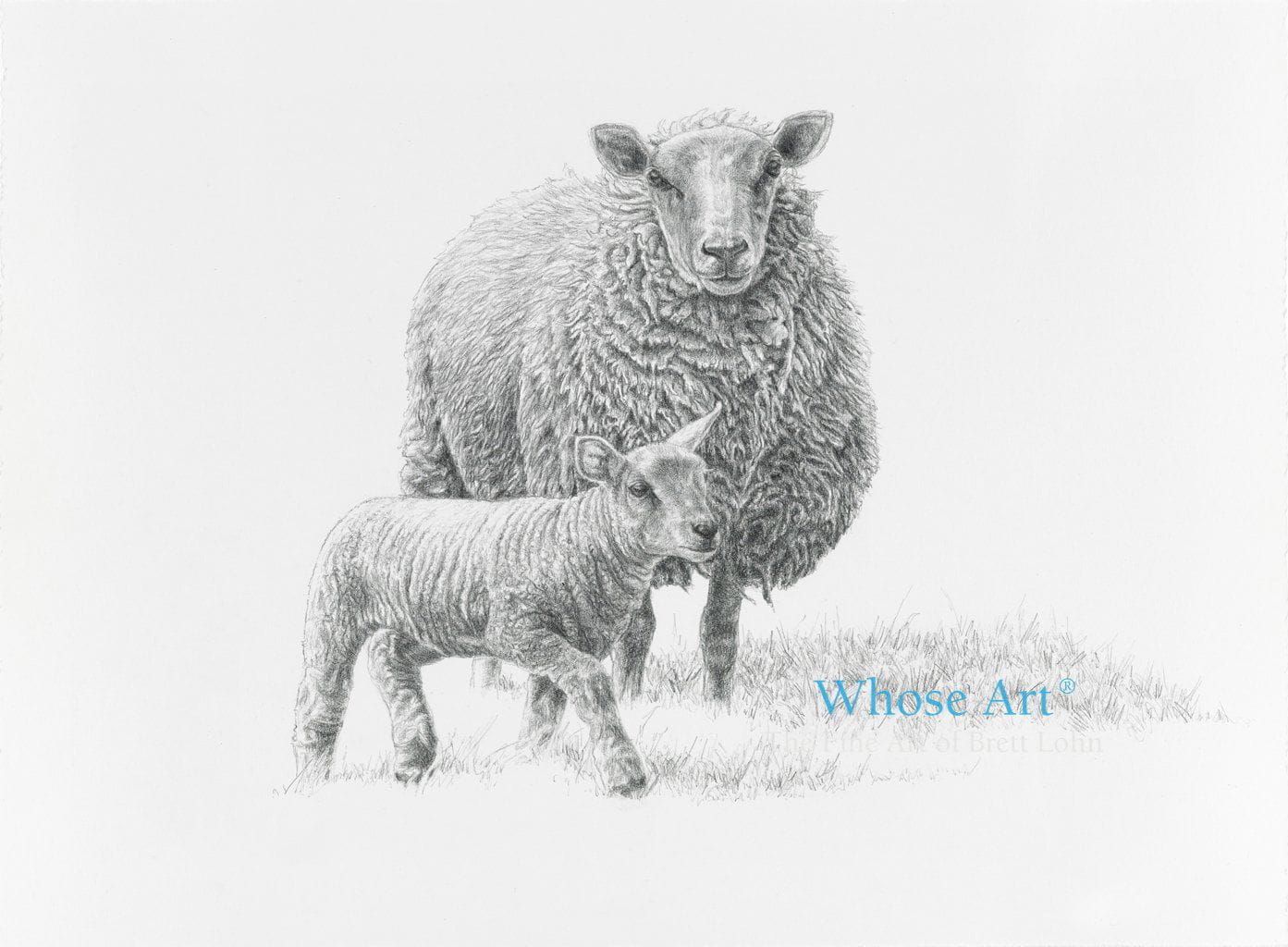 A sheep drawing with a lamb just able to stand on its feet. This black and white drawing shows the sheep watching the lamb.
