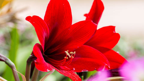 red Amaryllis toxic to cats
