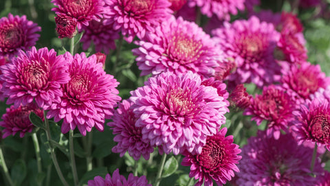Chrysanthemums toxic to cats