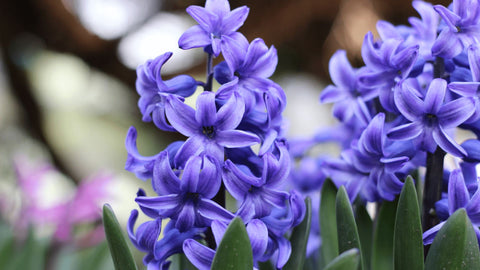 Hyacinths toxic to cats