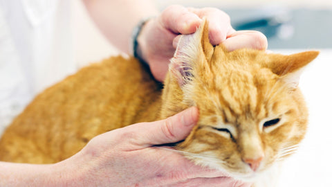 Ginger Cat getting its ears checked