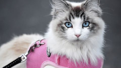 Pedigree cat with pink harness and lead