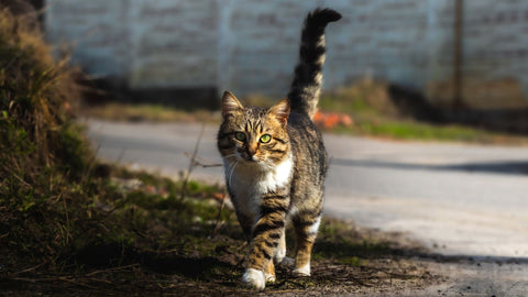 tabby cat with raised tail - norsh - cats and their tales