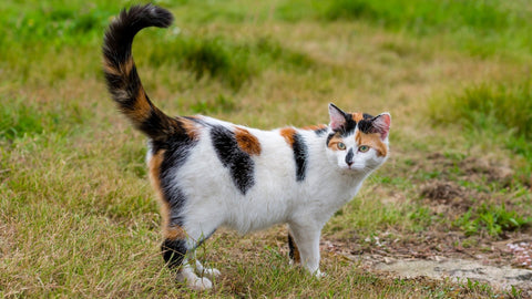 black white and ginger cat with raised tail