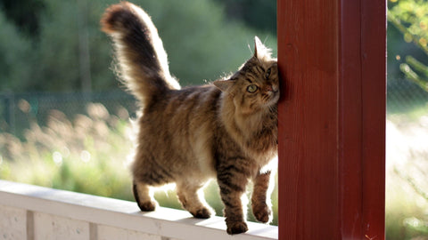 fluffy tabby cat rubbing fence post - Norsh - cats and their tales