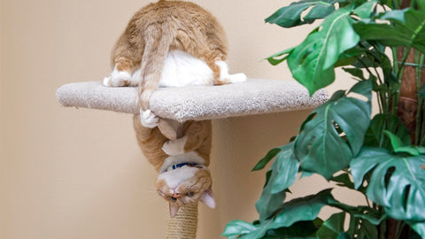 Ginger cat upside down in cat tree chasing tail - Norsh - cats and their tails